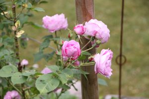 Permalink til:Jettes forskellige rosenhaver